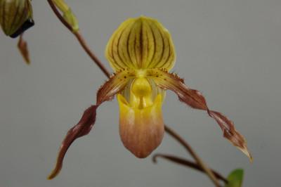 Paphiopedilum philippinense x chamberlainianum