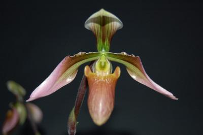 Paphiopedilum appletonianum