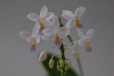 Phalaenopsis equestris 'blue lip'