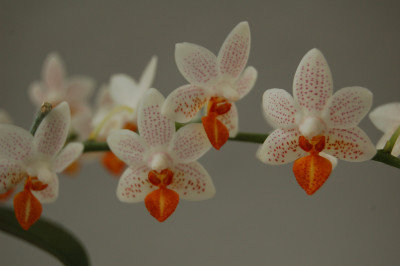 Phalaenopsis Minimark