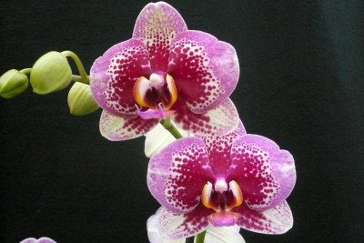 Phalaenopsis Elegant 'Dream Diamond'