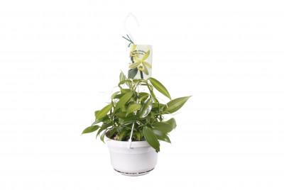 Vanilla planifolia 'variegata' (Ampelpflanze) - Echte Vanille Pflanze