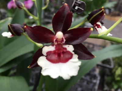 Colmanara Tropic Black (1 Rispe, Cascade)