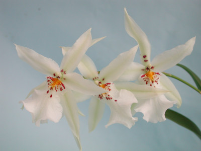 Degamoara Winter Wonderland 'White Fairy'