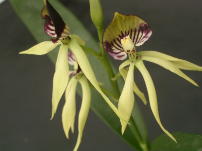 Encyclia Green Hornet