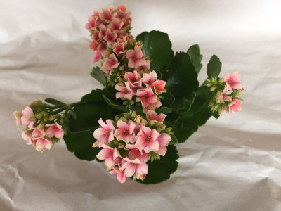 Kalanchoe blossfeldiana 'Rosy'