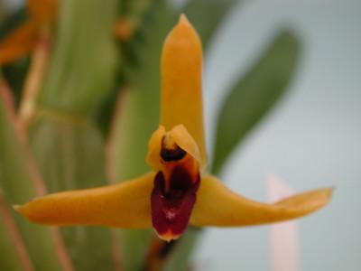 Maxillaria nasuta