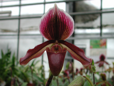Paphiopedilum Earl of Chester