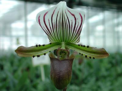 Paphiopedilum lawrenceanum