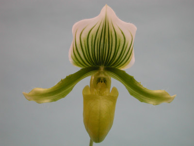 Paph. Maudianum x (Paph. holdenii x Paph. supersuk)