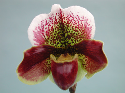 Paphiopedilum Mildred Hunter 'Eleana'