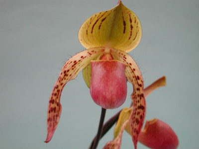 Paphiopedilum Stone Ground