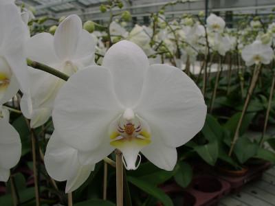 Phalaenopsis Grönland