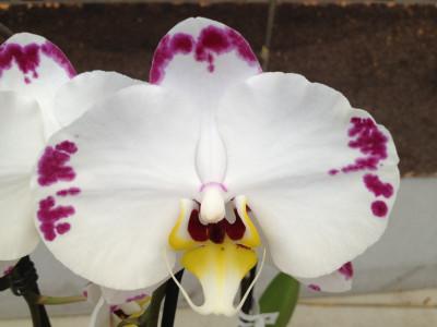 Phalaenopsis Elegant 'Wibi Soerjadi''