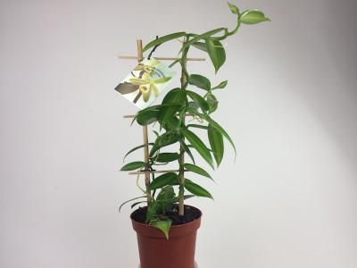 Vanilla planifolia 'variegata' (Rankegitter) - Echte Vanille Pflanze