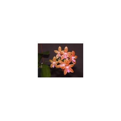 Phalaenopsis lueddemaniana 'deltonii' (Jgpfl.)