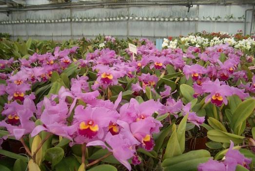 orchideen wichmann beratung verkauf und versand europaweit. Black Bedroom Furniture Sets. Home Design Ideas