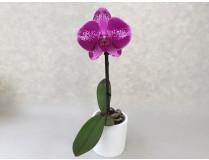 phalaenopsis_big_singolo_violett.