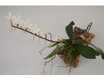 orchideen-arten-aerangis_biloba.
