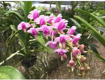 ategorien-orchideen-arten-aeridis_quinquevulner