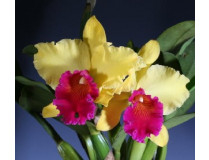 Orchideen-Wichmann | Orchid Store | Shipping to Europe and