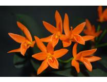 Cattleya  Kapuzenorchidee