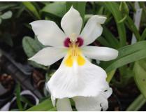 Miltonia / Stiefmütterchenorchidee