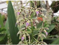Epidendrum / Baumwurzler