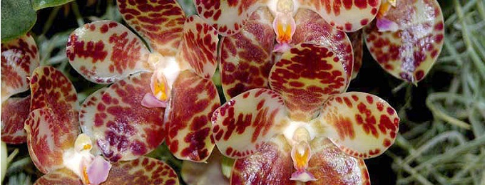 phalaenopsis gigantea kategoriebild