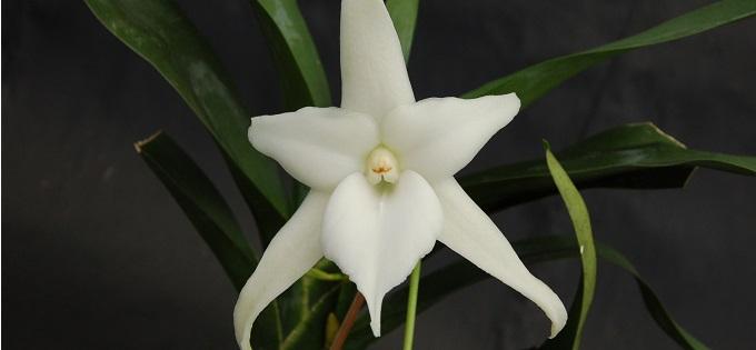 Angraecum Orchidee
