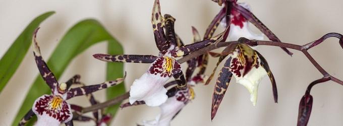 Beallara Torero Orchideen Jungpflanzen