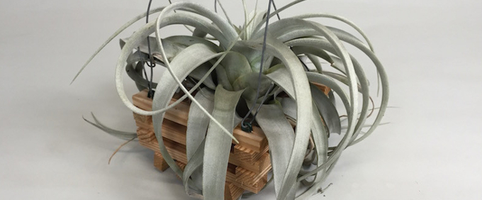 Bromeliads and Tillandsia BromelienTillandsien