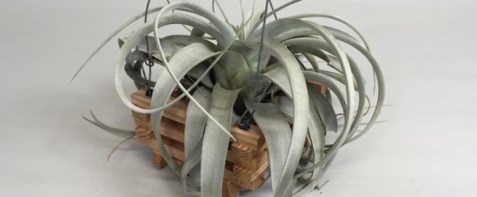 Bromeliads and Tillandsia BromelienTillandsien