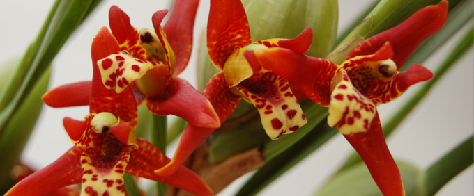 Maxillaria Orchidee