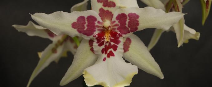 Mehrgattungshybriden Orchideen