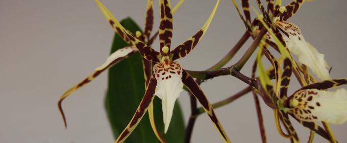 Miltassia Orchidee