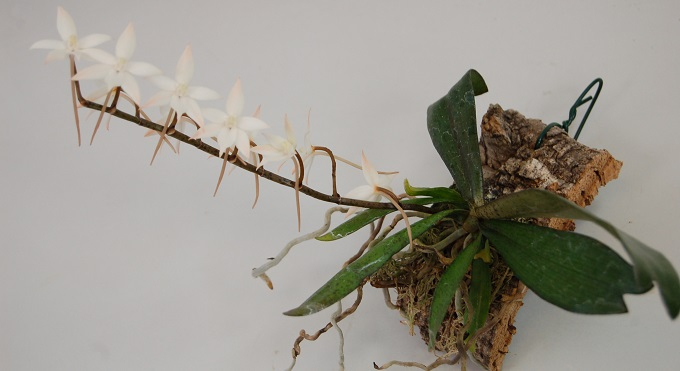 Aerangis is a growth-restricted and epiphytic growing