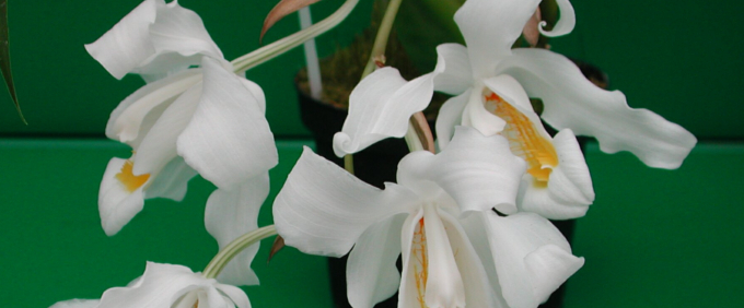coelogyne Orchid Orchideen