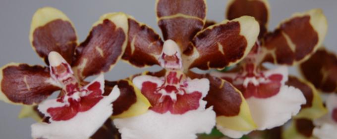 colmanara Orchidee Orchid