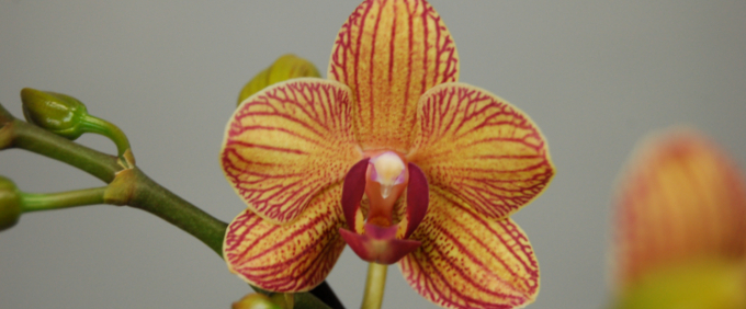 doritaenopsis Orchideen Orchid