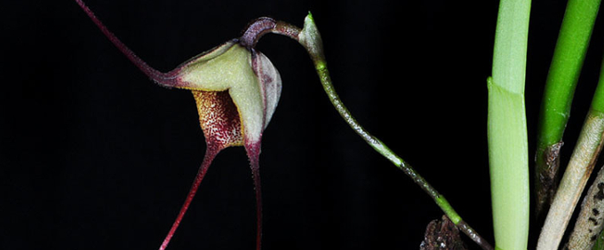 dracula Orchideen Orchid