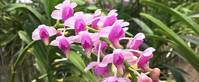 Duft Orchideen
