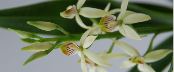 epidendrum Orchidee Orchid