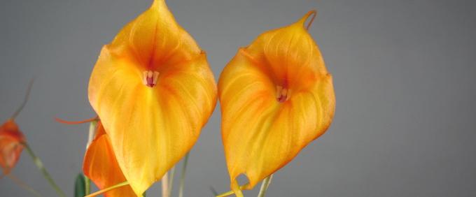 masdevallia Orchidee Orchid