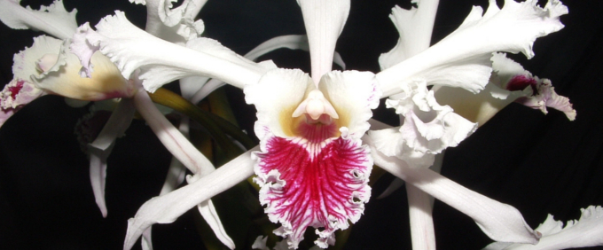 laelia Orchideen Orchid