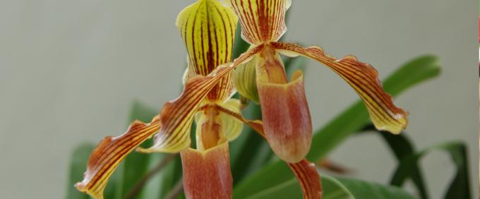 paphiopedilum baron komura Orchid
