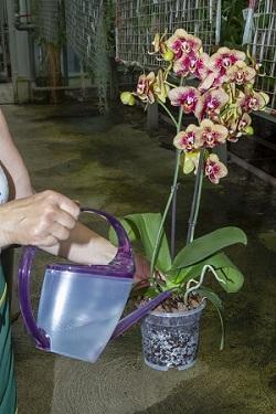 Orchideen richtig gießen