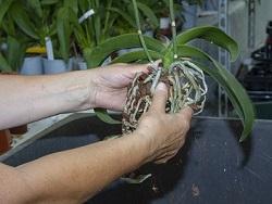 Orchideen umtopfen - aus Gefäß nehmen