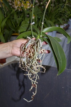 Schritt 1 Orchideen von altem Substrat befreien